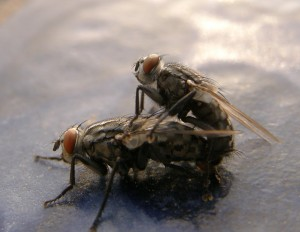parenje-muva-mating-fly