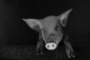 christmas-photography-animals-pigs (10)