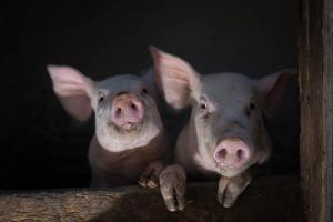 christmas-photography-animals-pigs (4)