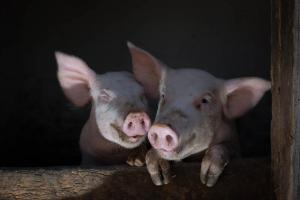 christmas-photography-animals-pigs (5)