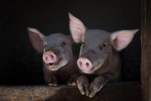 christmas-photography-animals-pigs (6)