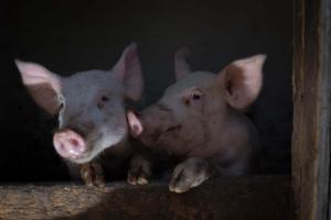 christmas-photography-animals-pigs (7)