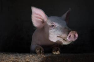 christmas-photography-animals-pigs (8)