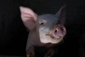 christmas-photography-animals-pigs (9)